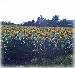 Lisas Sunflowers 1 copy