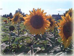 Lisas Sunflowers 2 copy